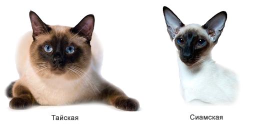 Сиамская и тайская кошка