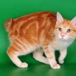 окрас кошки амбер
