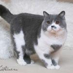 Кошка биколор