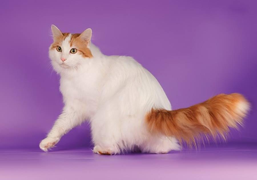 кошка окраса ван