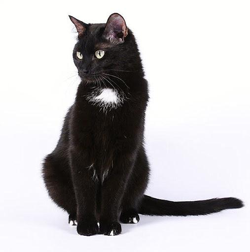 Кошка с пятном-медальоном