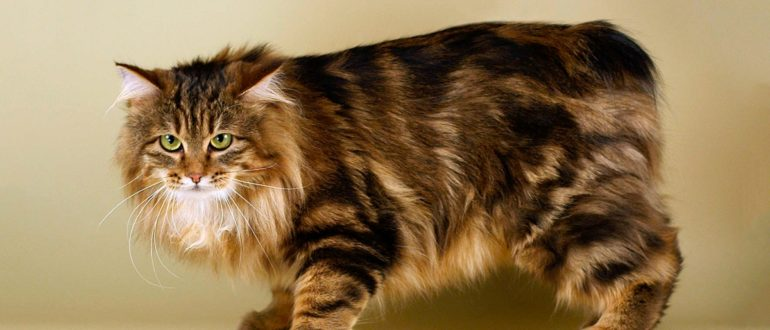 Бесхвостые породы кошек