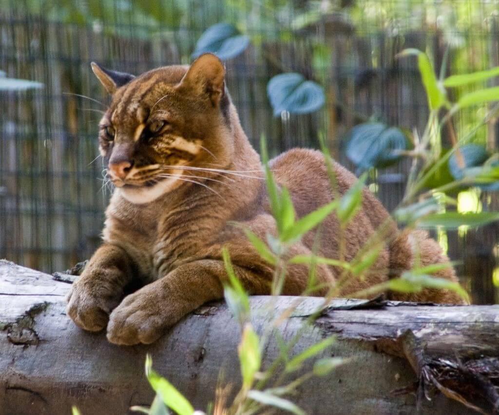 дикая золотая кошка