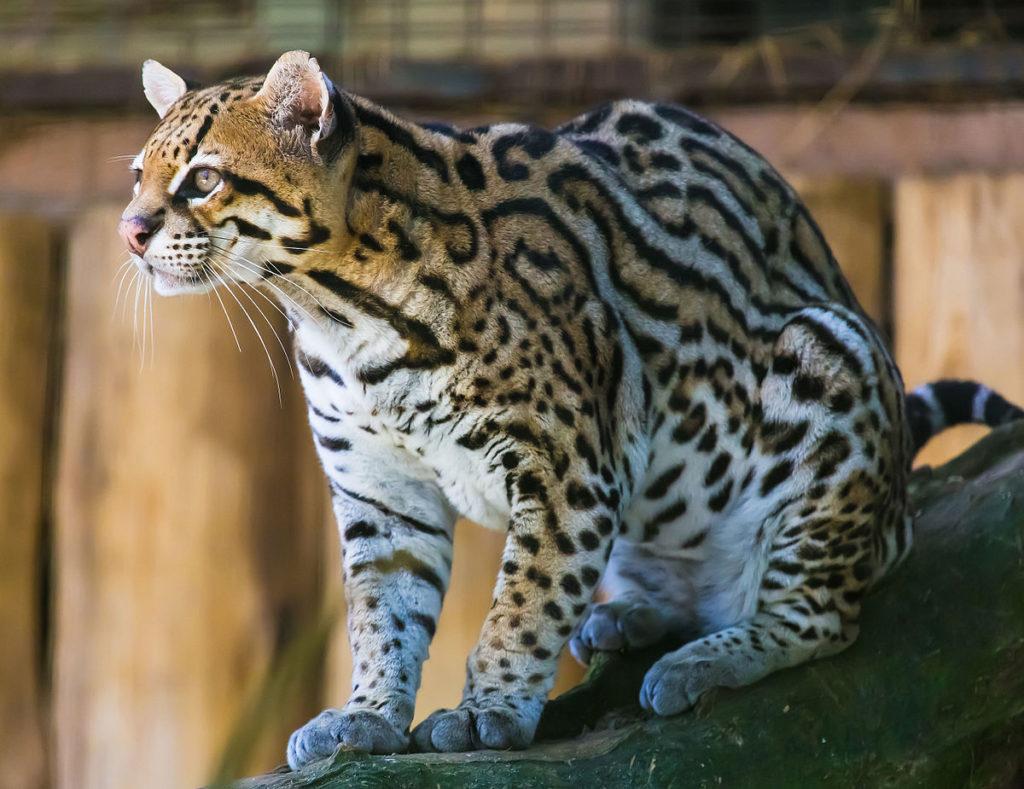Тигровые кошки (Leopardus)