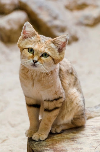Пустынная Кошка (барханный кот)