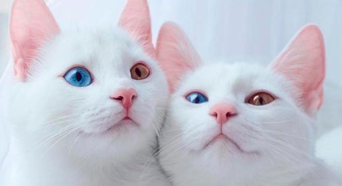 Порода као мани: снежная кошка из Таиланда