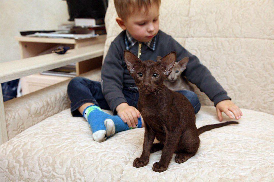 Кошки породы Ориентал