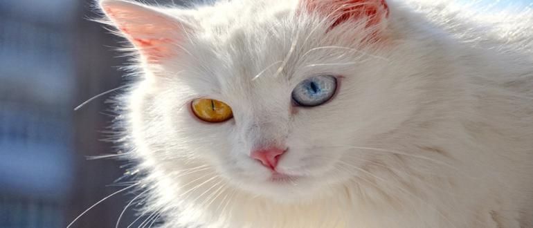 Гетерохромия у кошек - что это - болезнь или непривычная аномалия